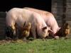 중국 및 아시아 지역 아프리카돼지열병 확산 주의...발생지역 돼지고기 반입시 벌금 최대 1000만원