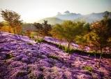 [진안] 5월 꽃잔디 축제...원연장 꽃잔디마을, 4만여 평 동산에 꽃잔디 한 가득