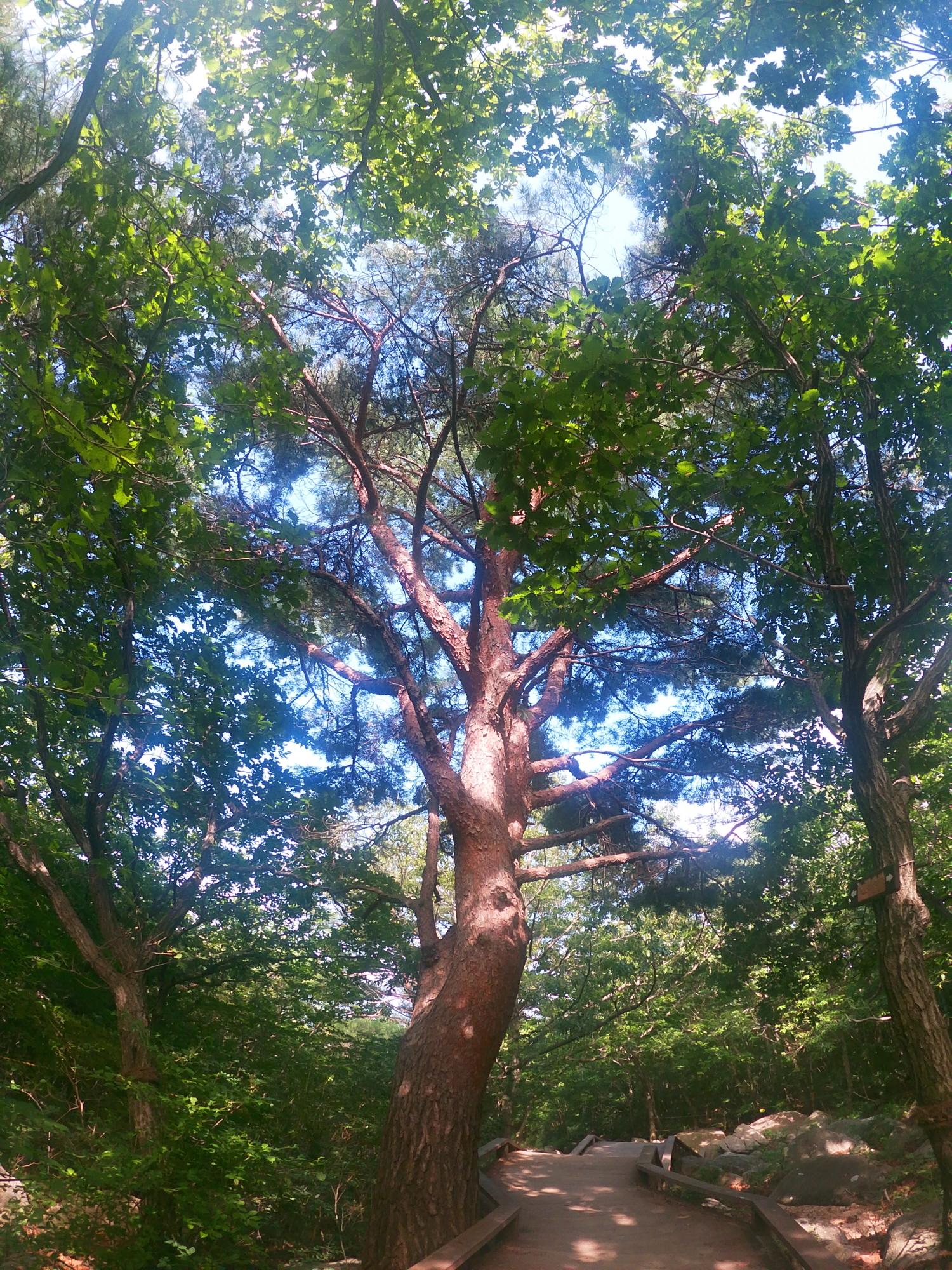 범어사나무.jpg