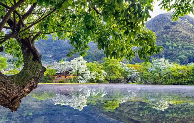 위양못 이팝나무1.png